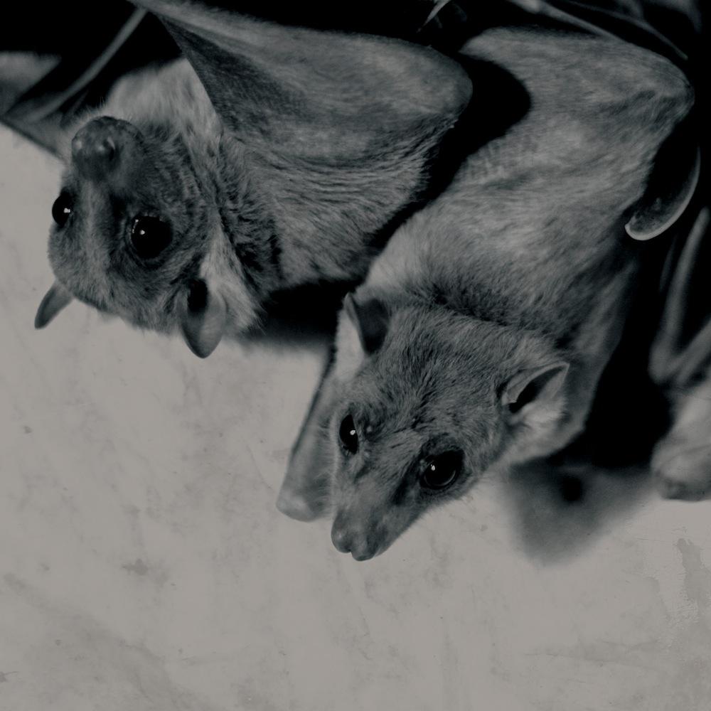 seirom bats